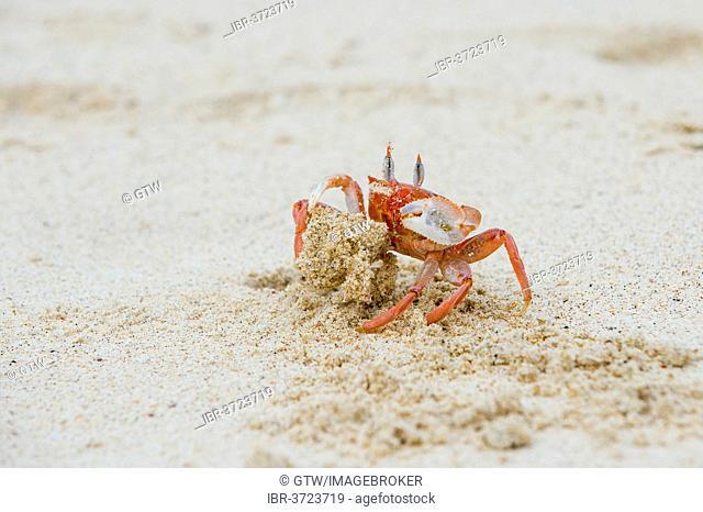 Ghost crab (Ocypode Gaudichaudii), San Cristóbal Island, Galápagos Islands, Ecuador