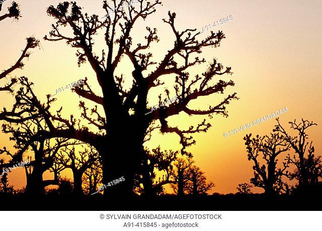 Baobabs forest of Bandia at sunrise, peninsula of Cap-Vert. Senegal