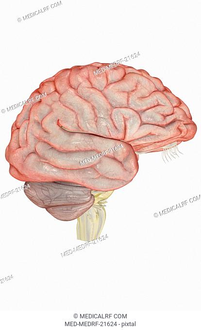 Primary motor cortex precentral gyrus Stock Photos and Images   age ...