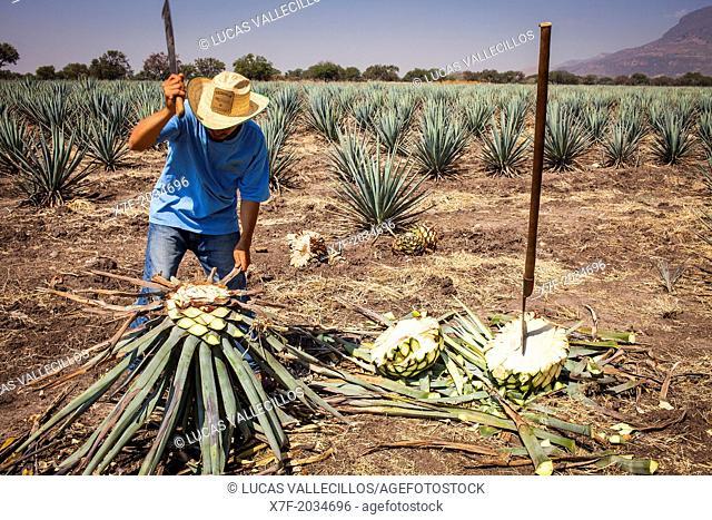 Harvesting Agave (Jima).plantation of blue Agave in Rancho `El Coyote', Penjamo, Guanajuato, Mexico