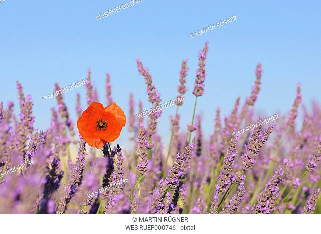 France, Mediterranean Area, Plateau De Valensole, Valensole, View of lavender field with poppy