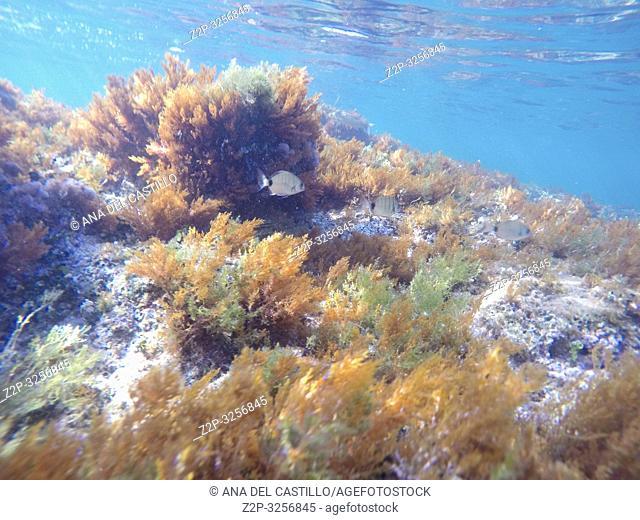 Mediterranean underwater seaweed Denia Alicante spain