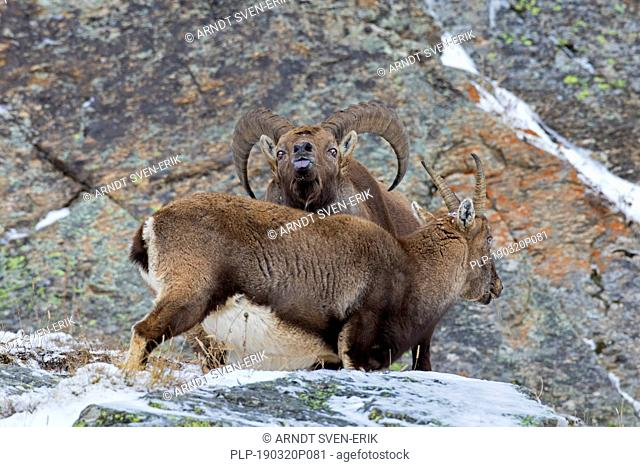Alpine ibex (Capra ibex) female and male with large horns scenting air with tongue during the rut in winter, Gran Paradiso NP, Italian Alps, Italy