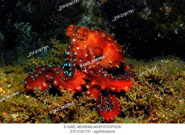 Long-armed octopus, observed at night in Corsica's water. Callistoctopus macropus