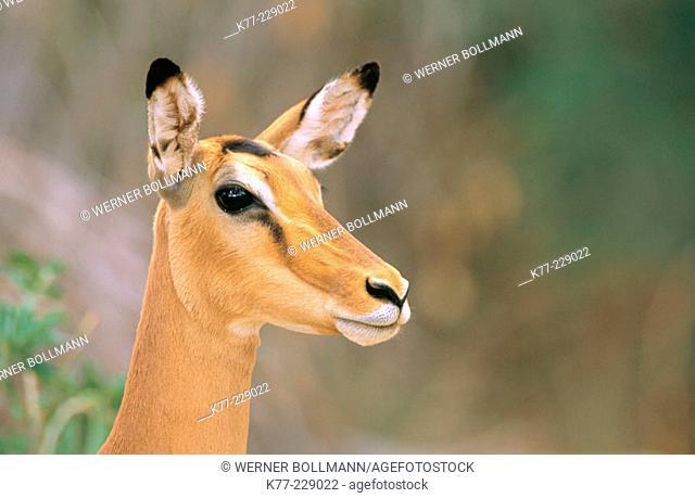Impala (Aepyceros melampus), female. Samburu National Reserve. Kenya