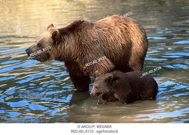 European Brown Bears female with cub Ursus arctos
