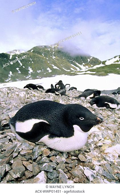 A nesting colony of Adelie penguins Pygoscelis adelie, Paulet Island, Antarctic Peninsula