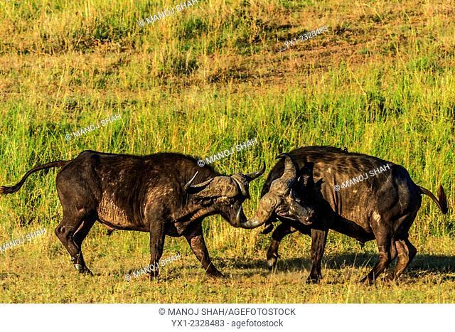 African Buffalo fighting, Masai Mara National Reserve, Kenya