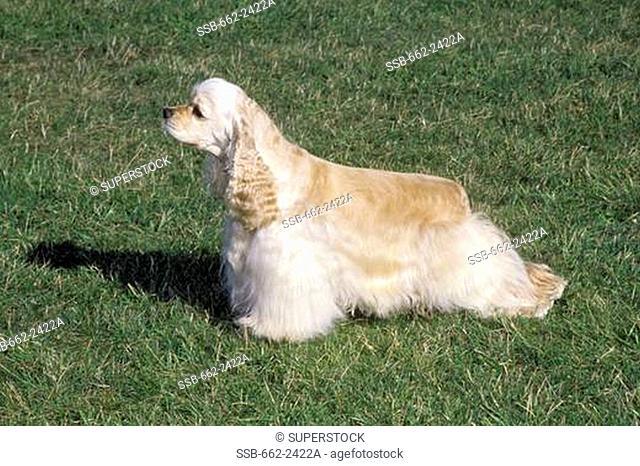 Portrait of American Cocker Spaniel dog