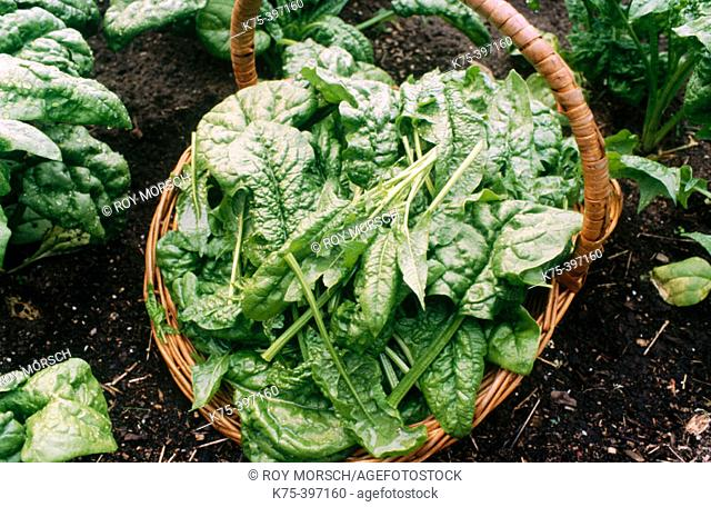 Organically grown spinach