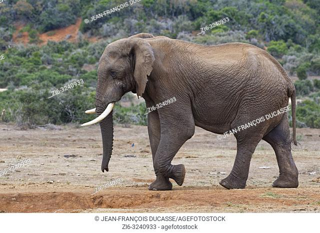African bush elephant (Loxodonta africana), adult male walking, Addo Elephant National Park, Eastern Cape, South Africa, Africa
