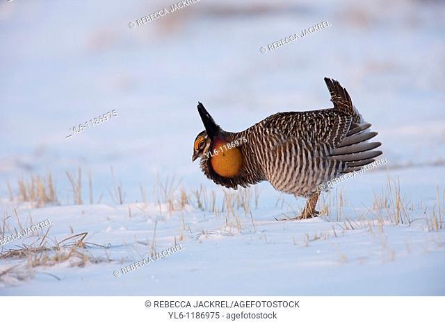 North America, USA, Minnesota, Moorhead, Bluestem Prairie  Greater Prairie-Chicken booming at a lek