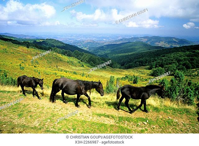 Merens horses at Col de la Core, a mountain pass in the Couserans province, Ariege department, Midi-Pyrenees region, France, Europe