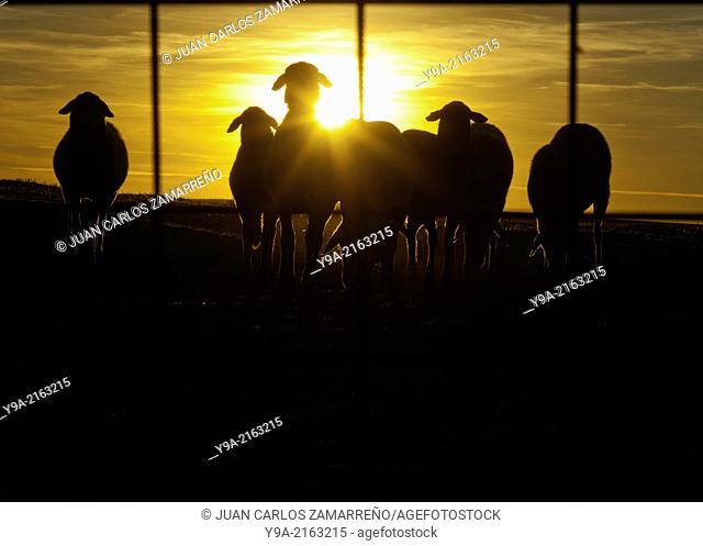 Sheeps silhouettes at dusk in a corral, Malpartida, Tierra de Penaranda, Marganan, Salamanca, Sastilla y Leon, Spain