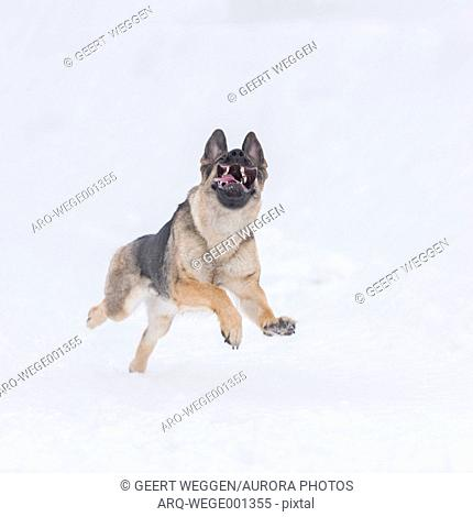 Photograph of a single German Shepherd dog running in snow