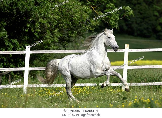 Pure Spanish Horse, Andalusian. Gray stallion galloping on a flowering meadow. Germany