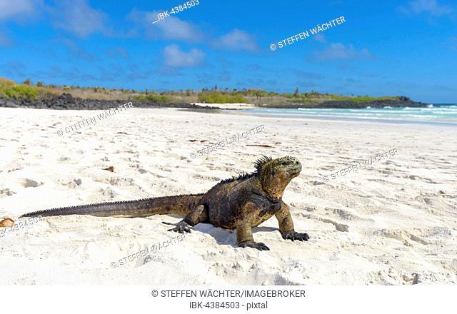 Galápagos marine iguana (Amblyrhynchus cristatus) sitting in sand on beach, sunbathing, Tortuga Bay, Santa Cruz Island, Galapagos, Ecuador
