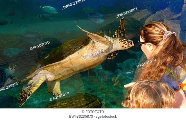 loggerhead sea turtle, loggerhead Caretta caretta, mother and child face to face with an animal at the pane of an outdoor aquarium, Spain