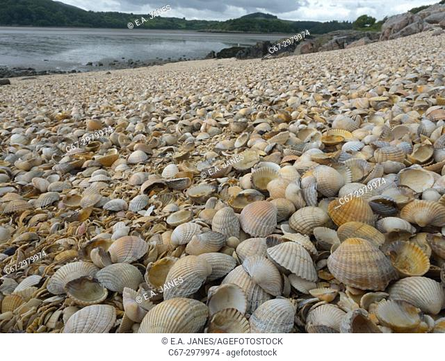 Empty Cockle Shells washed up on the Solway Dumfries Scotland