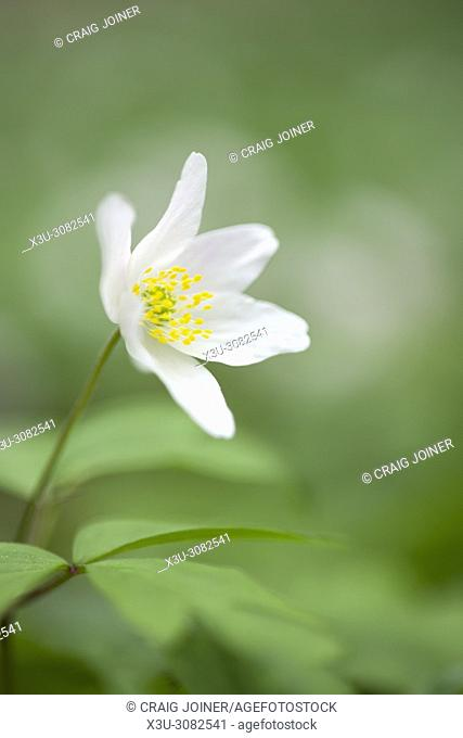 Close-up of a Wood Anemone flower (Anemone nemorosa) on a woodland floor