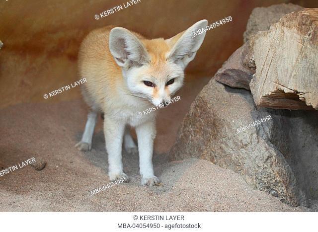 Fennek, desert fox, Vulpes zerda