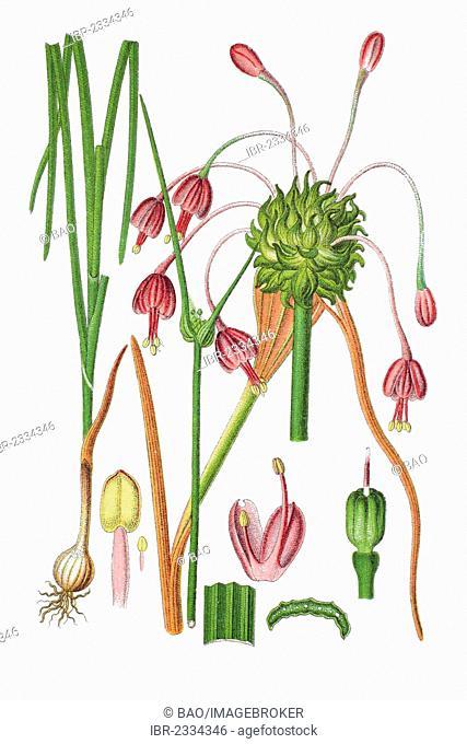 White-flowered keeled garlic (Allium carinatum), medicinal plant, historical chromolithography, 1796