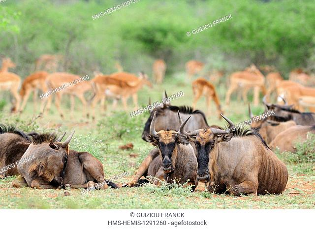 South Africa, Mpumalanga region, the South Kruger National Park, wildebeest (Connochaetes taurinus) and impalas (Aepyceros melampus)