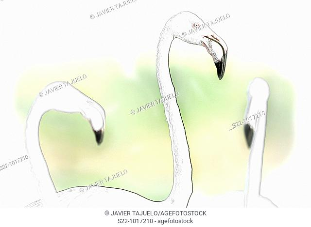 Greater Flamingo, Phoenicopterus ruber