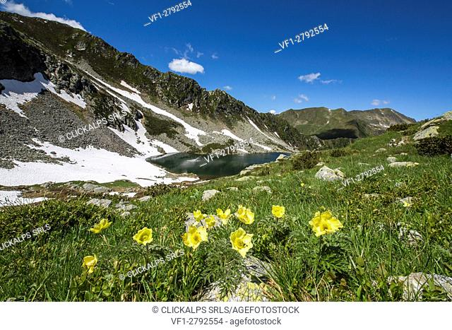 Yellow Anemones and lakes Porcile Tartano Valley Orobie Alps Lombardy Italy Europe