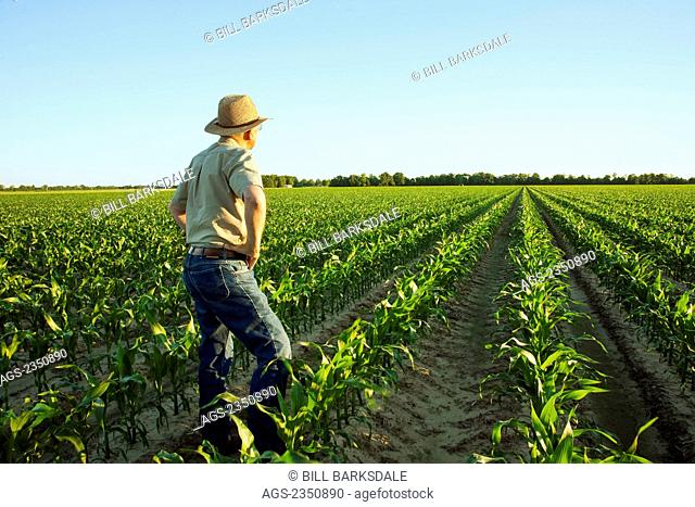 Agriculture - A farmer (grower) examines his field of mid growth grain corn plants at the 12 leaf stage in early morning light / near England, Arkansas, USA