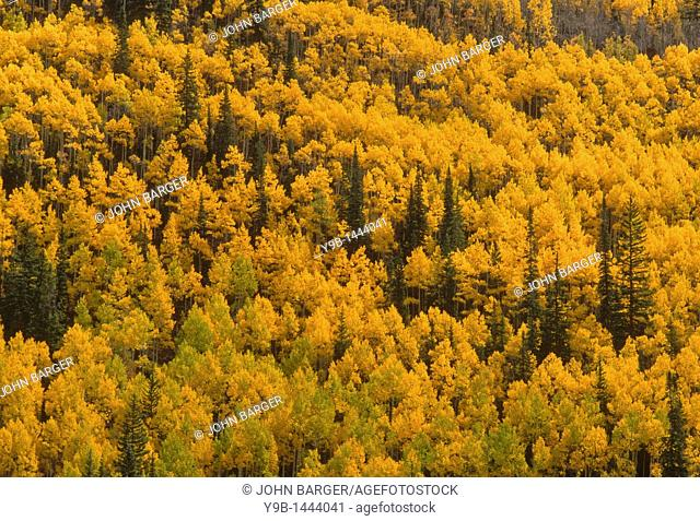 Fall-colored aspen mix with conifers, near Ironton, Uncompahgre National Forest, Colorado, USA