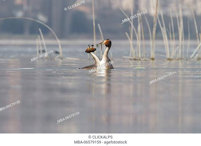 Iseo Lake, Lombardy, Italy, Great crested grebe