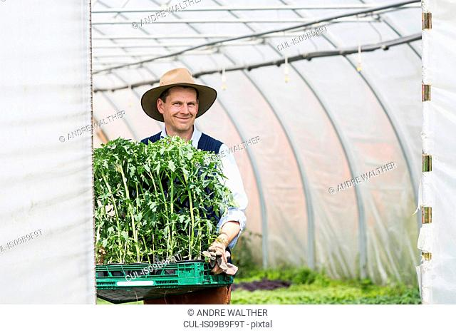 Farmer in polytunnel carrying tray of plants