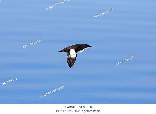 Black guillemot / tystie (Cepphus grylle) in breeding plumage flying over sea