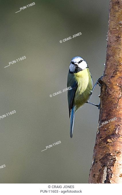 The sun had just caught the face of this blue tit Parus caeruleus as it was feeding in the forest at Parkhall, Staffordshire
