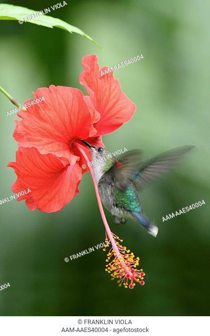 Female Black-Chinned Hummingbird (Archilochus alexandri) drinking nectar from Hibiscus flower (Hibiscus sp); Isla Bastimentos; Bocas del Toro province; Panama;...