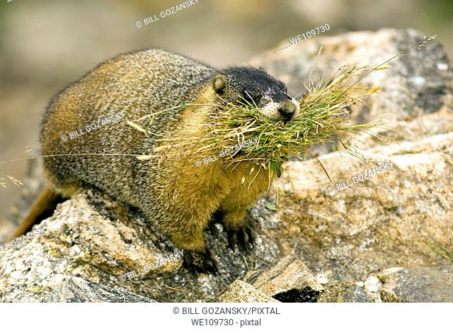 Yellow-bellied Marmot marmota faviventris - Rocky Mountain National Park - Estes Park, Colorado