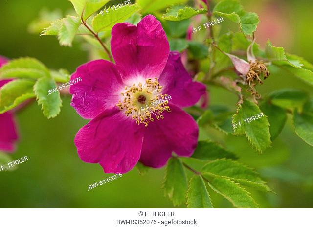 Mountain Rose (Rosa pendulina), flower, Germany