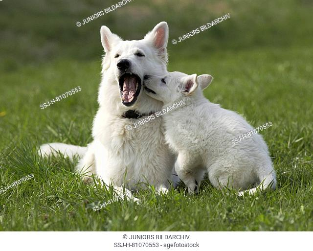 White Swiss Shepherd Dog. Puppy playing with adult on a meadow. Germany
