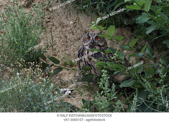 Eurasian Eagle Owl ( Bubo bubo ), young, hiding under bushes in a slope of a sand pit, wildlife, Europe