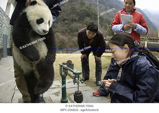 Giant Panda Ailuropoda melanoleuca, endangered, baby being weighed by researchers at the China Conservation and Research Center for the Giant Panda