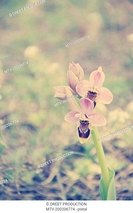 Close up of orchid flower, La Brena, Andalusia, Spain