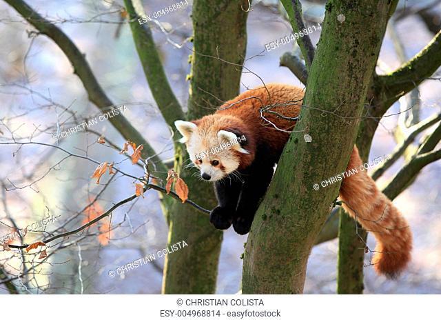 Kleiner Pandabär in Nahaufnahme