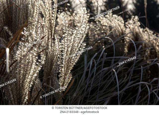 Common Reed. Bad Schallerbach Recreational Park. Austria