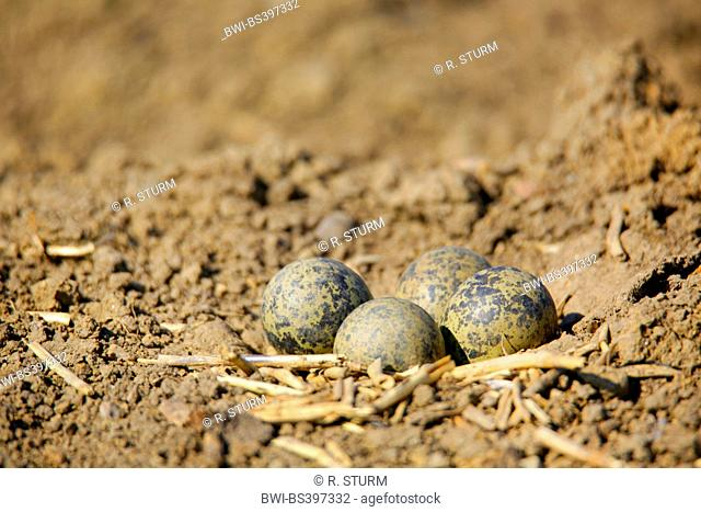 northern lapwing (Vanellus vanellus), nest hollow with eggs on blank acre, Germany, Bavaria, Atting