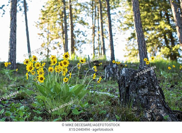 Wild flowers in early morning light in western Montana