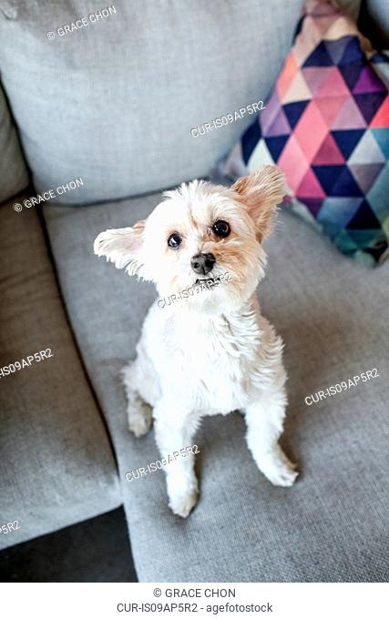 Portrait of cute dog looking up from living room sofa