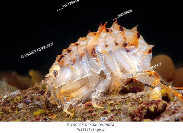 Acanthogammarus (Acanthogammarus lappaceus), Lake Baikal, Siberia, the Russia
