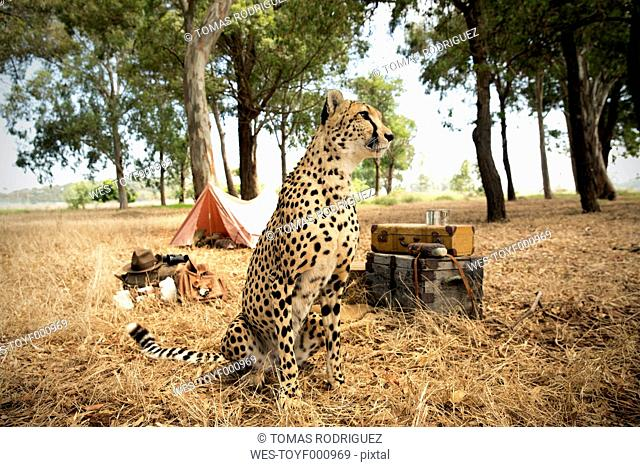 South Africa, cheetah sitting in front of a tent on a meadow