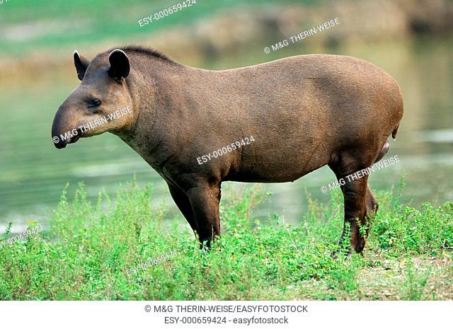 Brazilian Tapir or Lowland Tapir, Tapirus terrestris, Tapiridae family, Perissodactyla order, Pantanal, Mato Grosso, Brazil